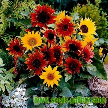 Ziersonnenblumen Samen – bunt