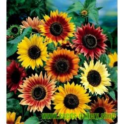 Semillas De Girasol Ornamental multicolor