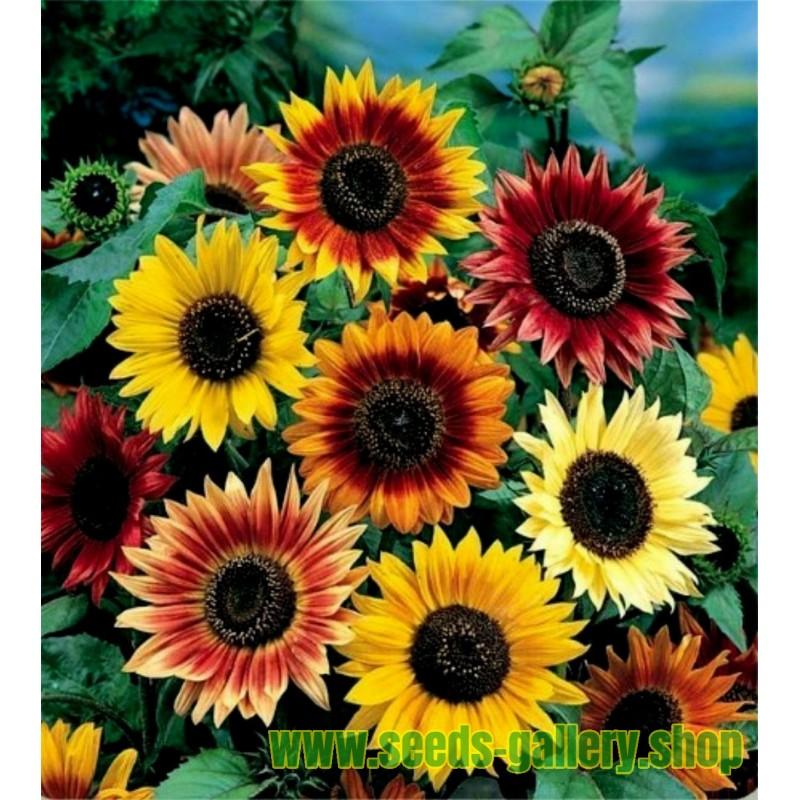 Garden Sunflower Seeds Multi Color