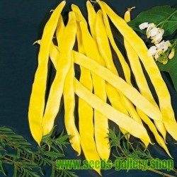 'Bush Blue Lake' Beans Seeds