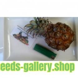 "Källor Ananas nanus ""Miniature Pineapple"""