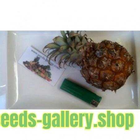 Graines Ananas Miniature - Ananas nanus