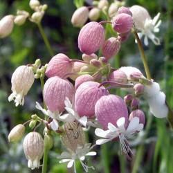 Semințe Gușa-porumbelului...