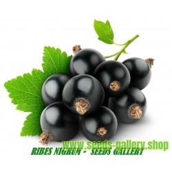 Sementes de Cassis ou Groselheira-preta (Ribes nigrum)
