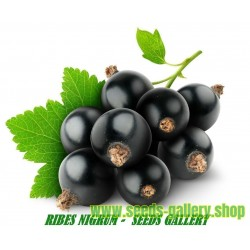 Svarta Vinbär Frön (Ribes nigrum)