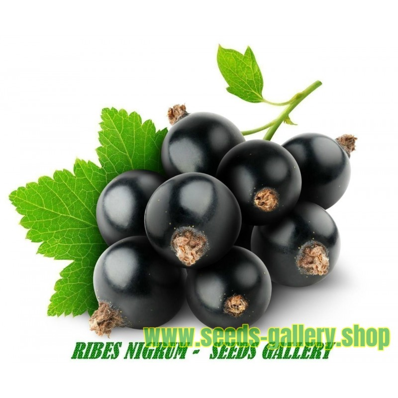Blackcurrant Seeds (Ribes nigrum)