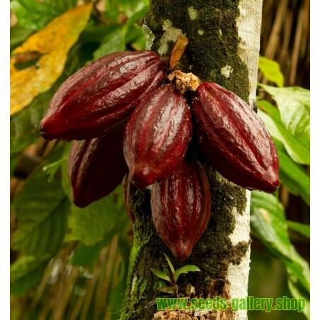 Semillas El árbol de cacao