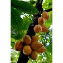 Semillas de melón Charentais
