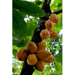 Σπόροι Κακάο