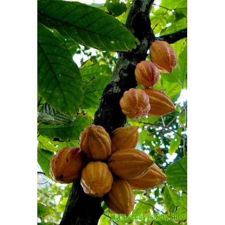 Kakao Frön