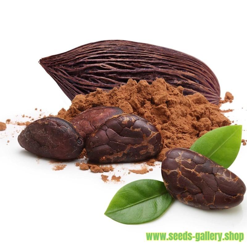 Kakaobaum Samen (Theobroma cacao)