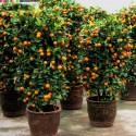 """Sementes de Plumeria """"Orange Karasin"""""""