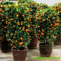 Semi di Calamondino(Citrofortunella microcarpa)