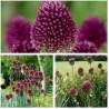 Kogellook bloembollen (Allium sphaerocephalon)