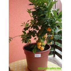 Σπόροι Calamansi - Καλαμοντίν(Citrofortunella μικροκαρπα)
