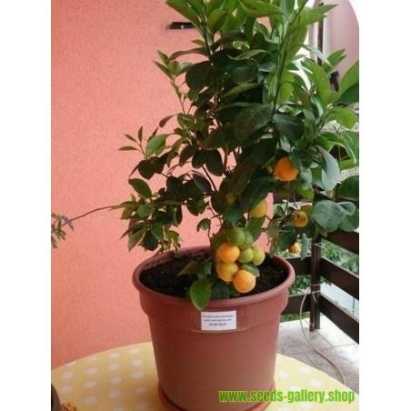 Kalamondin Mini Pomorandza Seme (Citrofortunella microcarpa)