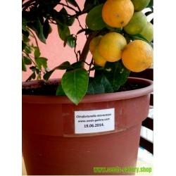 Calamondin Seeds (Citrofortunella microcarpa)