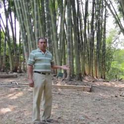 Semillas de bambú gigante...