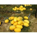 Canary Yellow Melon Seeds
