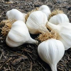 Spicchi d'aglio bosniaci...