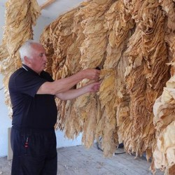 Nasiona tytoniu...