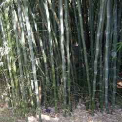 Weiße Bambussamen...