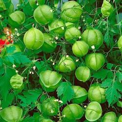 Ballongranka frön...