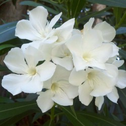 White Hardy Oleander Seeds...