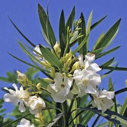 Nerium Oleander Winterhart