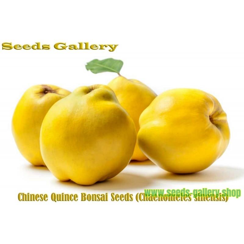 Σπόροι κινεζική Κυδώνι