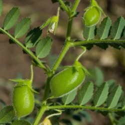 Red Lentil Bolognaise Seeds (Lens culinaris)  - 2