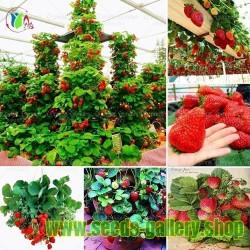 """Ορειβασία φράουλας σπόρους """"Mount Everest"""""""