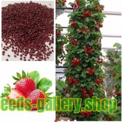 "Climbing Strawberry seeds ""Mount Everest"" (Fragaria x ananassa)"