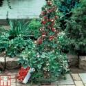 Elder - Elderberry Seeds (Sambucus nigra)