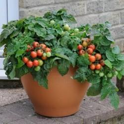 Σπόροι ντομάτας Bajaja