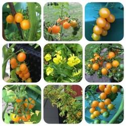 Graines de tomate sauvage...