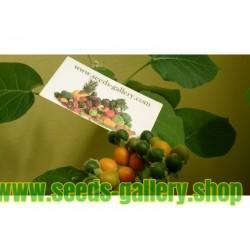 Semillas de Mini Tomate De Arbol Cyphomandra Abutiloides Fruta