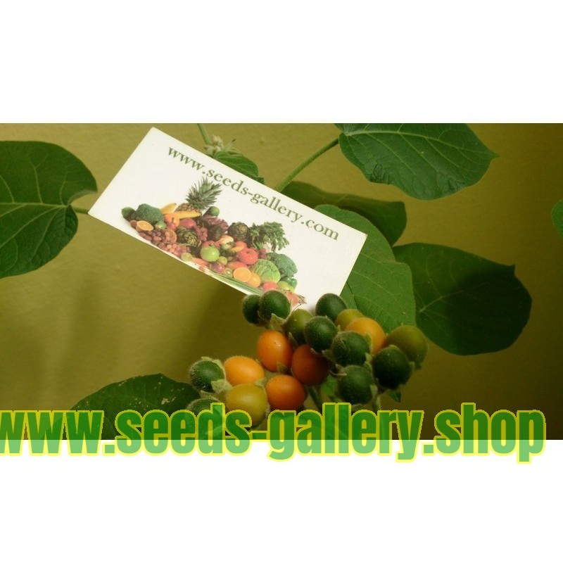 European barberry - simply Barberry Seeds