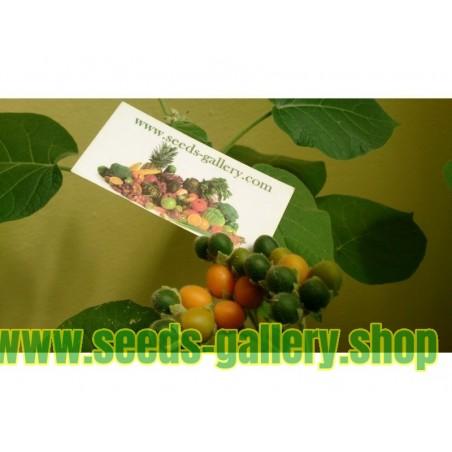 Rara Växter Dwarf Tamarillo Frön