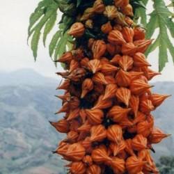 Rare Papaya Carica...