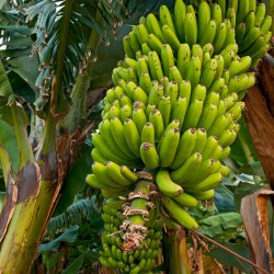 Wilde bos banaan zaden...