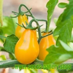 Paradajz Seme Yellow Pear - Kruska Paradajz