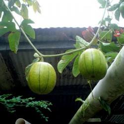 Kinesiska passionsfruktfrön...