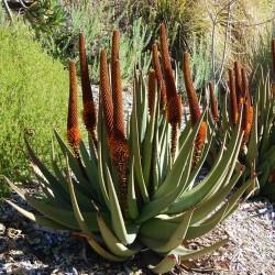 Macskafark Aloe magok (Aloe...