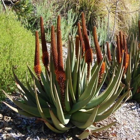 Sementes de Aloe Cauda de gato (Aloe castanea)