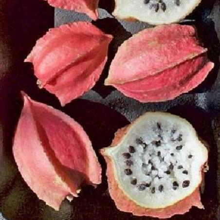 Sementes raras Chocola (Jarilla chocola)