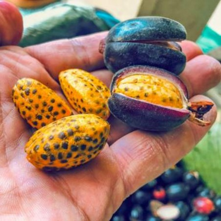 Seme đumbira velikih plodova Renealmia alpinia Oakacan Purple