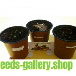 Schwarzer Senf Samen Saatgut (Brassica nigra)