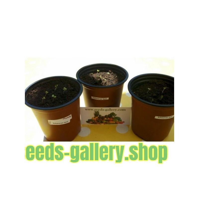 Sargent's Crab apple Seeds, Malus sargentii, Tree