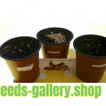 Wild Apfel Samen Auch als Bonsai